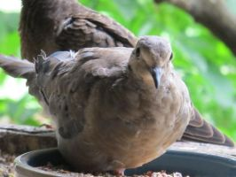 Placid Little Mourning Dove 7 by Windthin