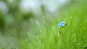 little blue flower by YumiPi