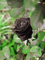 Black Rose II by looking-for-hope