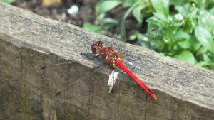Red Dragonfly by Rob54613