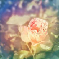 Rose by CindysArt