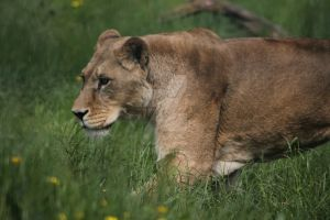 African Lioness:. by Tebyx