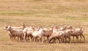 Bighorns by Boomboom34