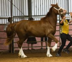 STOCK - 2014 Welsh QLD Show-83 by fillyrox