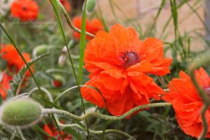 Orange Flowers by YukasaPhotography