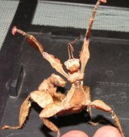 Australian Giant Stick Insect by Buggled