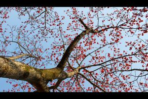 Under Red Cotton Tree by johnchan