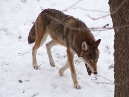 Red Wolf Stock 47 by HOTNStock