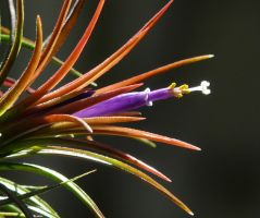 My Bromeliad by Otoff