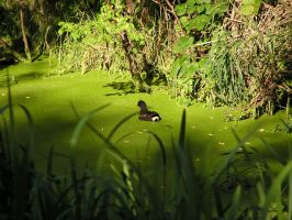 Duck on green by MyFlower06
