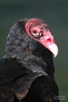 Turkey Vulture by lost-nomad07