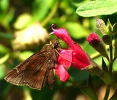 Skipper on Salvia.,. by duggiehoo