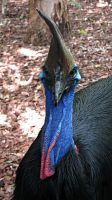 Cassowary by greenzaku