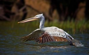 Pelican ...lets go by geckogr