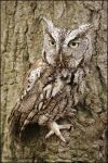 Screech owl by gregster09