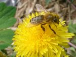 Honey Bee on a Dandelion by SacredJourneyDesigns