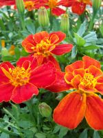 Red Marigold 2 by theNanna