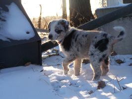 Blue Merle Puppy 8 by TheMidasTouch
