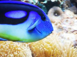 Regal Blue Tang by josephinebruce