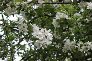 Spring Scenes - Apple Blossoms2 by Qrinta