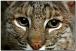 Bobcat up Close  VII by LoneWolfPhotography