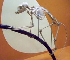 Lemur Skeleton by Rhabwar-Troll-stock