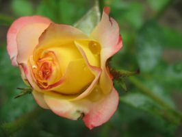 rose 2 by milica04