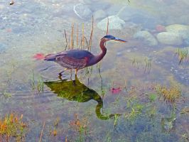 Heron Fishing In Reflection by wolfwings1
