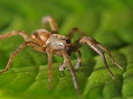 wolf spider by Mjag