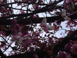 Butterfly's and Cherry blossoms by aingeal-uisge