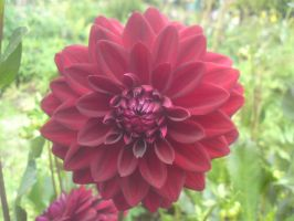 Red Dahlia by StoneMary