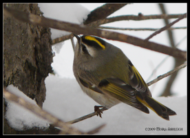 Golden Crowned Kinglet Female by Mogrianne
