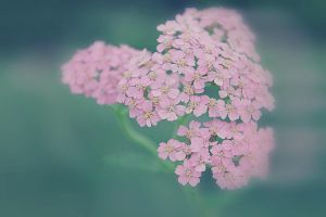 little pink Flowers by hv1234