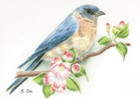 American Bluebird by Ned-The-Hat
