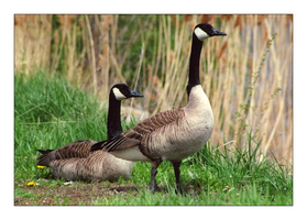 Canadian Geese 2 by MichelleMarie