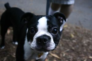 Boston Terrier at park by downtempomusic