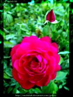 Rose The King OF Flowers. by SMehdiAli