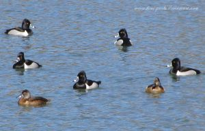 ring-necked ducks 1 by Kimi-Parks