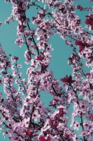 Spring Blossom IV by onelook