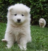 Samoyedines by SuRealismo