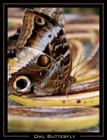 Owl Butterfly by ExquisiteDistraction