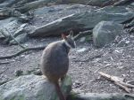 Little wallaby by C0UGHDR0P