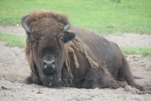 Bison 1 by Chance-STOCK