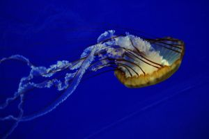 Pacific Sea Nettle by firestorm152