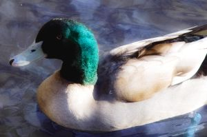 Duck II by dolcesunset