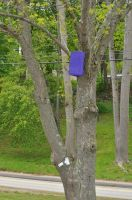 What's that Purple Thing in the Maine Ash Trees? by BlueSolitaire