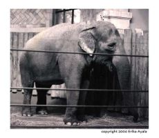 Elephant at the Zoo II by Sombraluz-Images