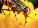 Fly on a flower by karman87