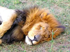 Lazy Lion Gauteng SA I by Jenvanw