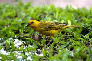 Saffron finch by Peregrijn